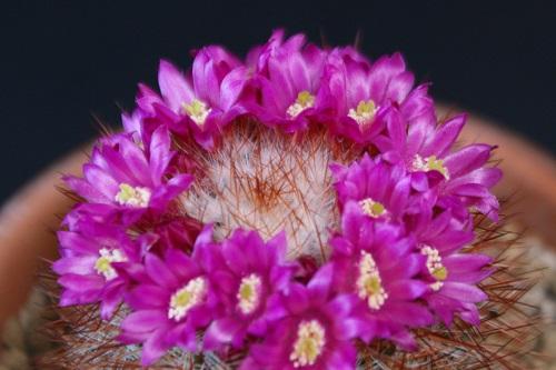 猩々丸の花