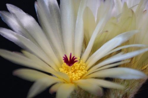 金小町の花