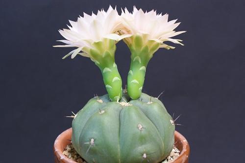 ギムノカリキウムの花