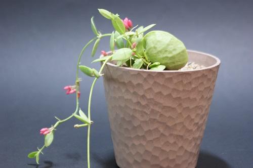 カンガルーポケットの花