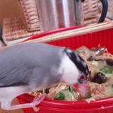 飼い主より先に皿うどんをついばんでいる桜文鳥