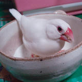器に中に入って気取ってエサを食べている桜文鳥