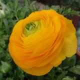初めて咲いたラナンキュラスは黄色!