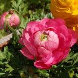 キレイなピンク色のラナンキュラスが咲きました!