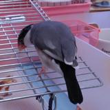 失格を告げられ、後ろ髪を引かれる思いで退場する桜文鳥