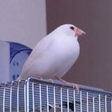 副賞の豆苗を食べ、表彰式に臨む白文鳥