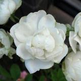 確か、10月に咲いたときは真っ白だった…