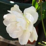 白雪姫、がんばって咲いてます