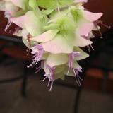 オレガノ・ケントビューティーのお花が咲きました!