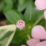 風車咲のニチニチソウの蕾はキュート!
