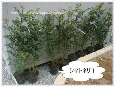 シマトネリコ9本プラス