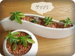 セラミスと多肉植物の相性