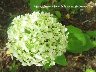 庭のアナベルが4年目にしてようやく咲いた件