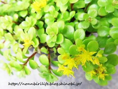 丸葉万年草(多肉植物)に黄色の花が咲いた!
