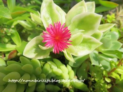 ベビーサンローズ(多肉植物)にピンクの花が咲いた!