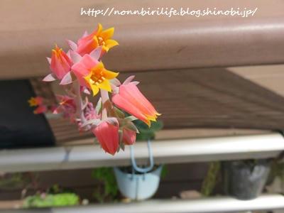七福神(多肉植物)にオレンジの花が咲いた!