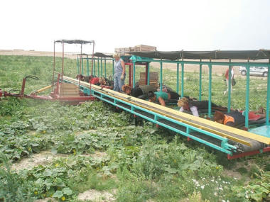 cucumber_pickers01.jpg