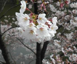 2009sakura001.jpg
