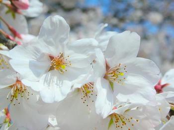 桜、接写しました