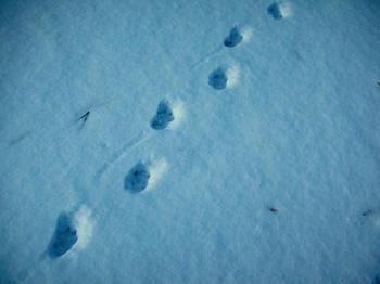 犬の足跡のようです