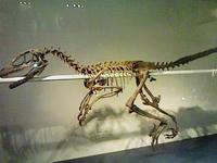 ラプトル。ジュラシックパークでは大活躍(?)だった恐竜