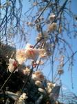 写真:常泉寺の梅
