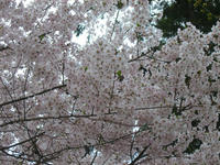 sakura2008a.jpg