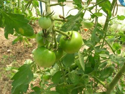 色づくのを待つミニトマト