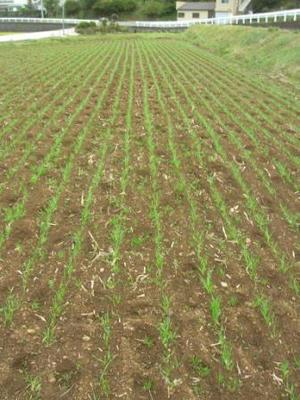 出揃った小麦