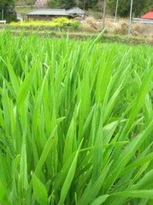 大麦の葉っぱ