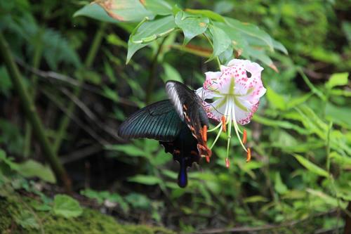 たきゆりと蝶