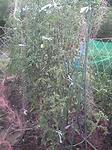 やり直したトマトの網