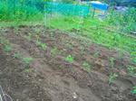 大豆の植え替え