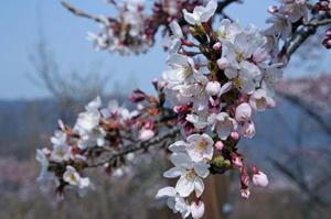 石老山の桜