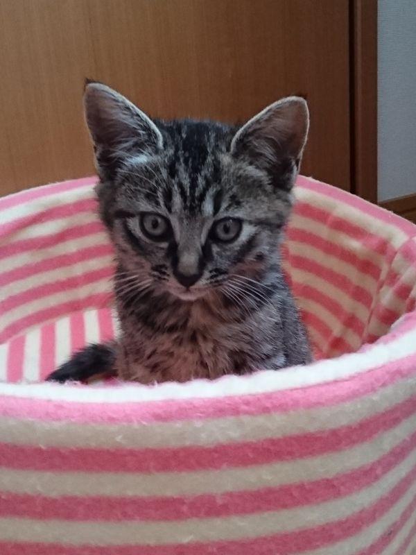 預かり猫の保護子猫ルドルフ