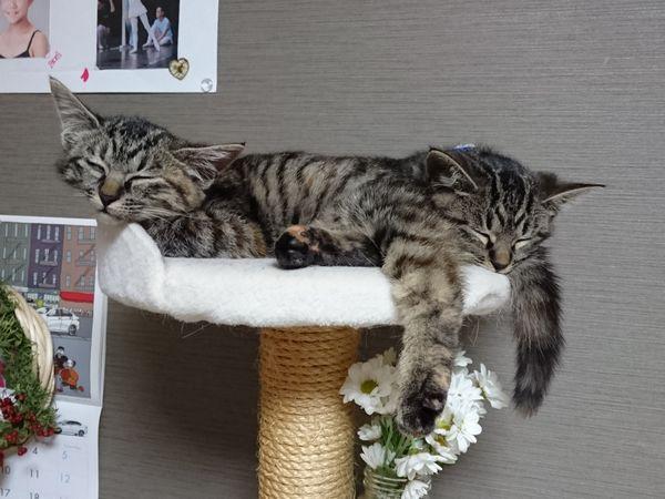 子猫同士の個室争い、軍配はどっちに?2匹の体重測定