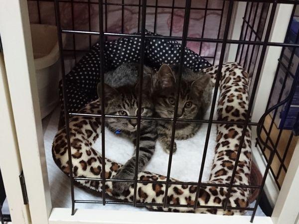 譲渡会の翌日の猫たち(リースとルドルフ)