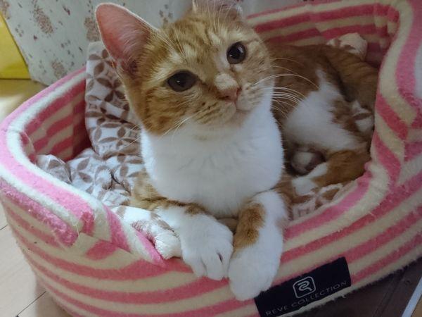 にゃんデントで一人遊びをする猫(やっぱり動かないと面白くないにゃ)