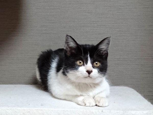 黒白ハチワレ子猫の模様を観賞して楽しんでみた