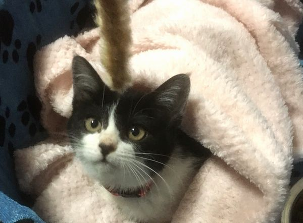 黒白子猫の成美ちゃん、正式譲渡のご報告