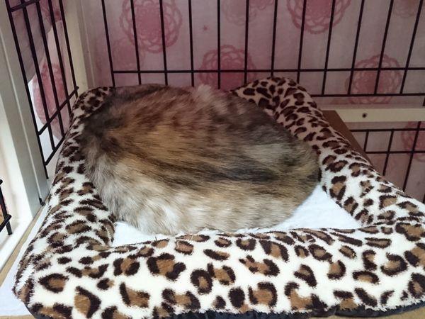 2月アニサポ犬猫の定例譲渡会、あや子ちゃん参加しますよー♪