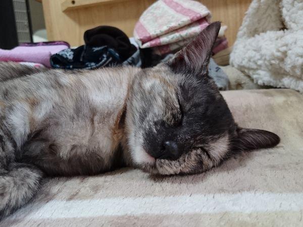 東海地方(愛知三重岐阜)犬猫保護ボラグループアニサポ里親募集保護猫