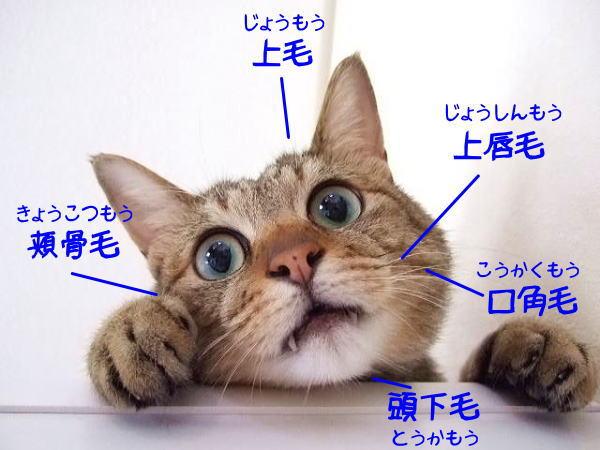 猫のヒゲの名称