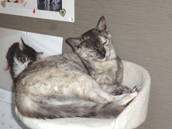 東海地方(愛知三重岐阜)犬猫保護ボラグループアニサポ里親募集保護猫(サビ猫)