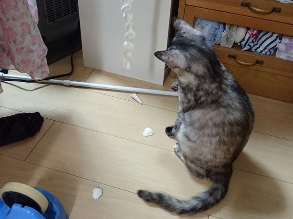 キャットタワーを満喫する少女猫あや子の動画