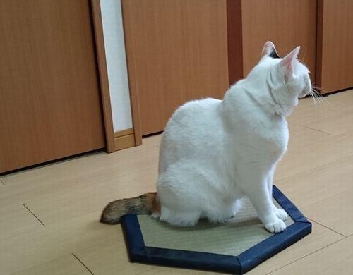 しっぽの短い猫すあま嬢