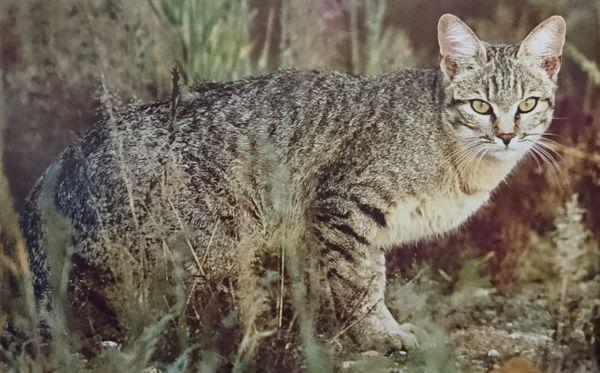 猫の祖先種リビアヤマネコ
