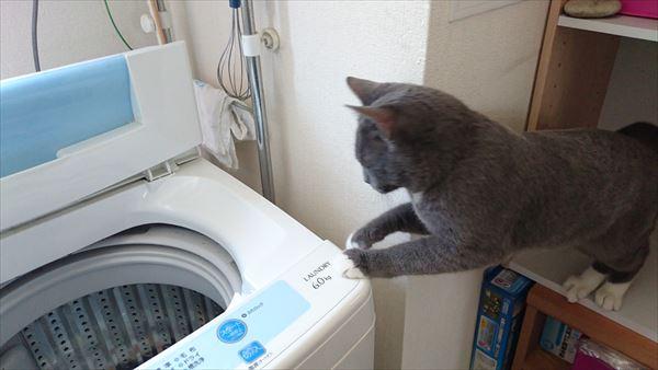 洗濯機をのぞく猫
