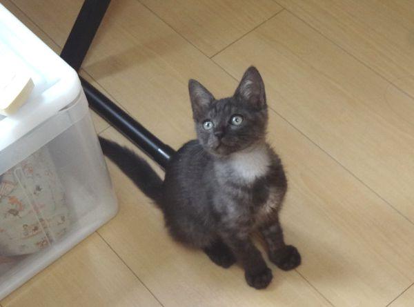 ブラックスモークの子猫