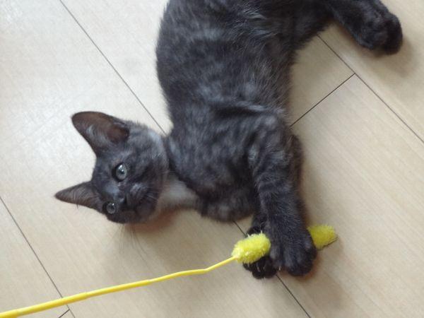 アニサポ里親募集中の子猫